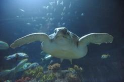 Meeresschildkröte im Sealife, © Foto: Sealife