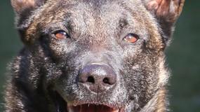 Polizeihund stelle Täter, © Foto: Polizei