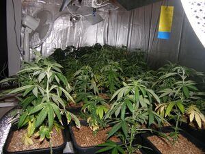 marihuana-1-lka, © lka