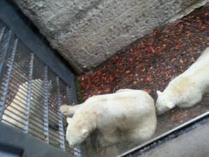 Eisbären Hellabrunn Tierpark