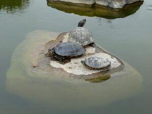 © Keine einsame Insel für eine Schildkrötenfamilie Bild: Agnes aus München