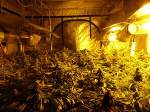 Marihuana-Plantage-Muenchen-2 Oberau