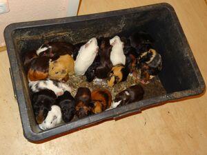 Verwahrloste Meerschweinchen gerettet, © Einige der Meerschweinchen - Foto: Tierschutzverein München e.V.