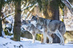europäische wölfe im schnee vor tannen, © Marc Müller - Tierpark Hellabrunn