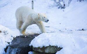 eisbär läuft über fluss im schnee, © Marc Müller - Tierpark Hellabrunn