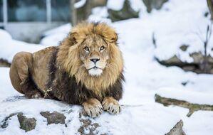 löwe im schnee im tierpark hellabrunn liegend, © Der Löwe Max - Foto: Marc Müller - Tierpark Hellabrunn