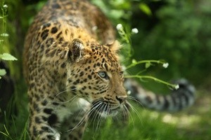 Leopard Julius im Tierpark Hellabrunn in München, © Foto: Tierpark Hellabrunn/Ellinor Fischer