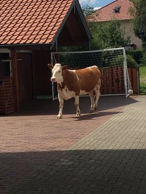 Eine Kuh steht vor einem Fußballtor, © Foto: Polizei Rosenheim