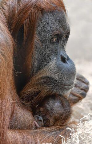 Die Oran-Utan-Mutter mit ihrem Neugeborenen., © Foto: Tierpark Hellabrunn / Susanne Bihler