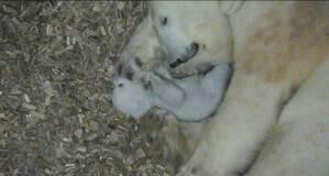 Eisbär, Baby, Hellabrunn, © Foto: Tierpark Hellabrunn