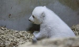 Das Eisbären-Baby im Tierpark Hellabrunn sucht einen Namen, © Foto: Tierpark Hellabrunn/Marc Müller