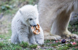 Eisbärin Quintana mit bayerischer Brezn im Mund, © Foto: Tierpark Hellabrunn/Marc Müller