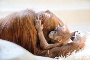 Orang-Utan-Mama Matra umarmt ihren Schützling, © Foto: Tierpark Hellabrunn/Marc Müller