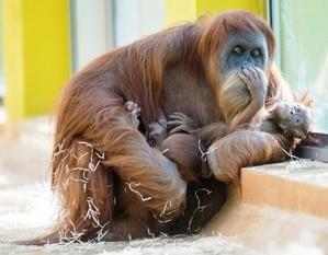 Orang-Utan-Mutter Matra kümmert sich um ihre zwei Schützlinge, © Tierpark Hellabrunn/Marc Müller