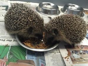 Zwei Igel fressen, © Symbolfoto