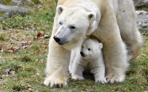 Eisbärenmama mit Baby, © Foto: Tierpark Hellabrunn