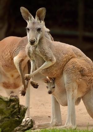 Känguru mit Baby im Beutel, © Foto: Tierpark Hellabrunn