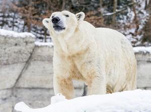 Eisbär Mann Yoghi, © Fotos: Tierpark Hellabrunn