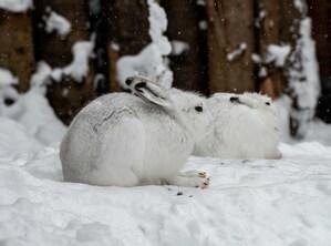 Zwei weiße Hasen sind im Schnee kaum zu sehen, © Tierpark Hellabrunn / Dennis Reininger