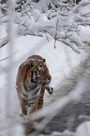 Ein Sibirischer Tieger im Schnee, © Tierpark Hellabrunn / Fran Wiesner
