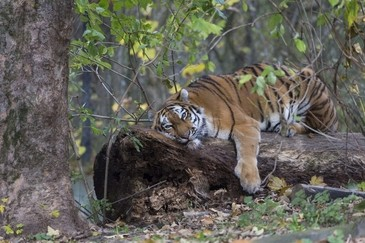 Sibirischer Tiger Tierpark Hellabrunn, © Tierpark Hellabrunn / Stefan Katzlinger