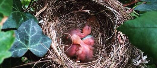Vogelnest - In Waldkraiburg gab es wegen einem jungen Vogel eine Attacke durch Krähen, © Irre Vogelattacke in Waldkraiburg - Symbolfoto eines Vogelnests