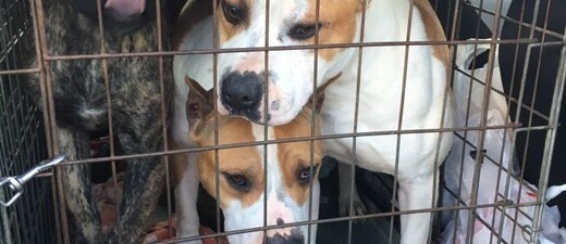 Kampfhunde in Kofferaum eingesperrt (polizei schleierfahnder brunnthal), © Foto: Polizei