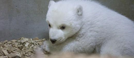Hellabrunns Eisbären-Baby ist ein Mädchen. , © Der Name der Kleinen steht noch nicht fest, er soll aber mit Q beginnen. Foto: Tierpark Hellabrunn / Marc Müller