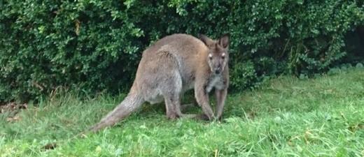 Ein Känguru namens Jumper war gestern in Prien ausgebüxt. Nach ergebnisloser Sucher der Polizei kam es heute selbstständig wieder zu seinem Besitzer zurück., © Foto: Polizeiinspektion Prien