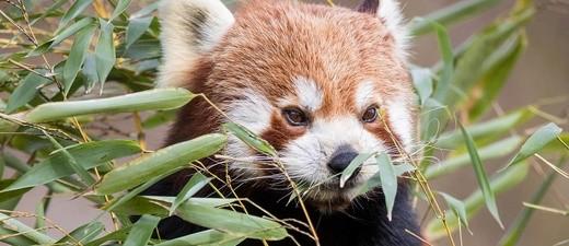 Der Tierpakr Hellabrunn hat einen neuen Roten Panda namens Justin., © Foto: Tierpark Hellabrunn/Marc Müller