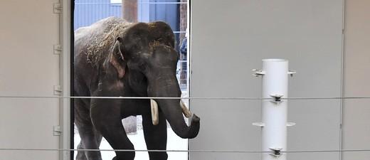 Elefantenbulle Gajendra zurück im Tierpark Hellabrunn, © Foto: Tierpark Hellabrunn/Joerg Koch