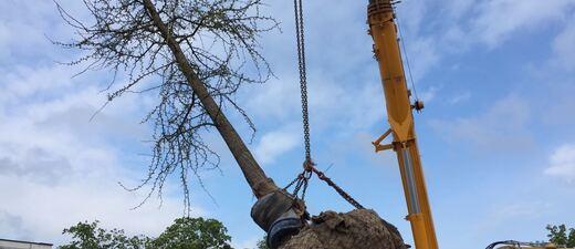 Der Ginkgo-Baum für die OEZ-Gedenkstätte wurde gepflanzt