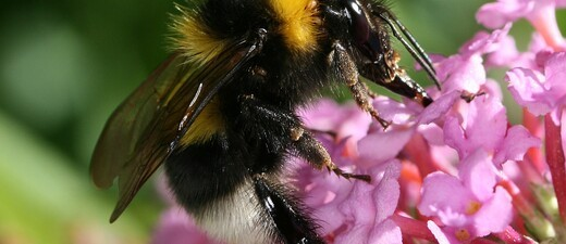 Wildbiene auf einer Blüte, © Deutsche Wildtier Stiftung
