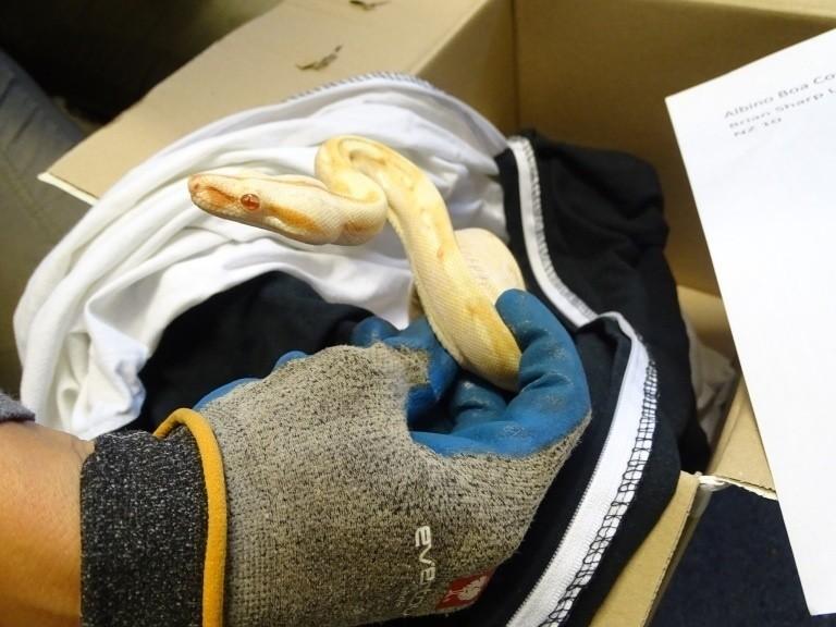 Schlange, Würgeschlage, Gandenhof, © Eine äußerst seltene Albino Boa Constrictor Imperator