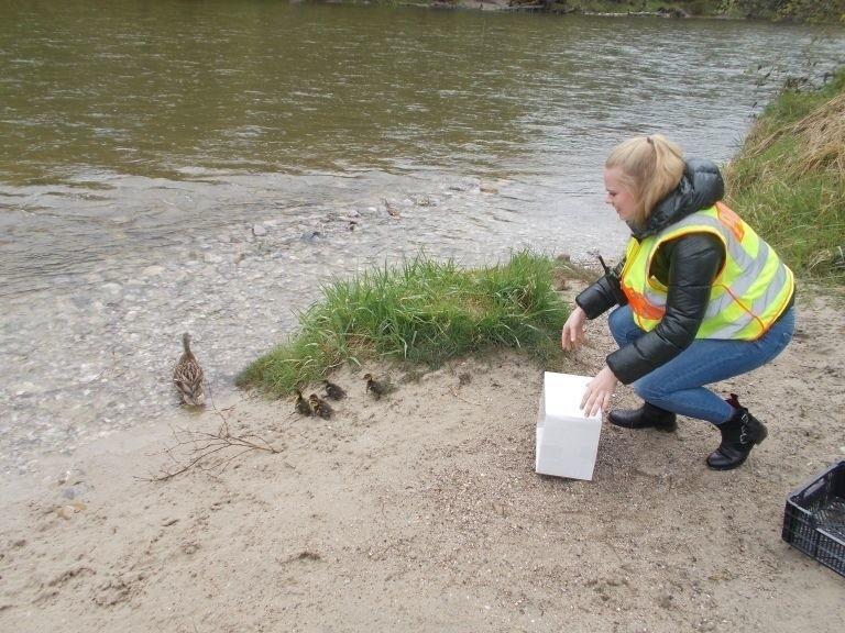 Enten aus Grünwald von Polizei gerettet, © Die Polizei rettete eine Entenfamilie in Grünwald
