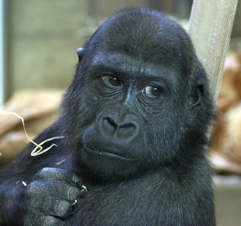 neuer gorilla hellabrunn tierpark, © Foto: Wolfgang Mehnert