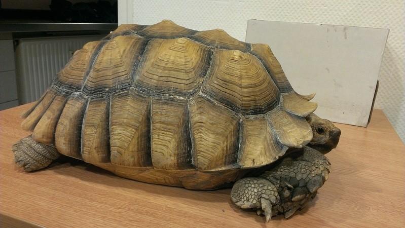 Gefundene Schildkröte ist ca 40 cm lang und 20 kg schwer , © Foto: Bundespolizei - Knapp 40 cm misst das gefundene 20 kg Reptil