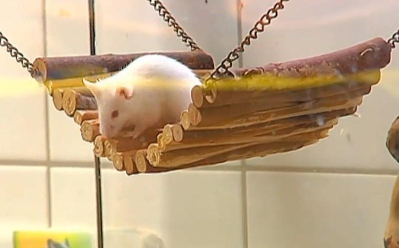 Bild einer Maus, © In München hat ein Betrunkener Passanten mit lebenden Mäusen beworfen