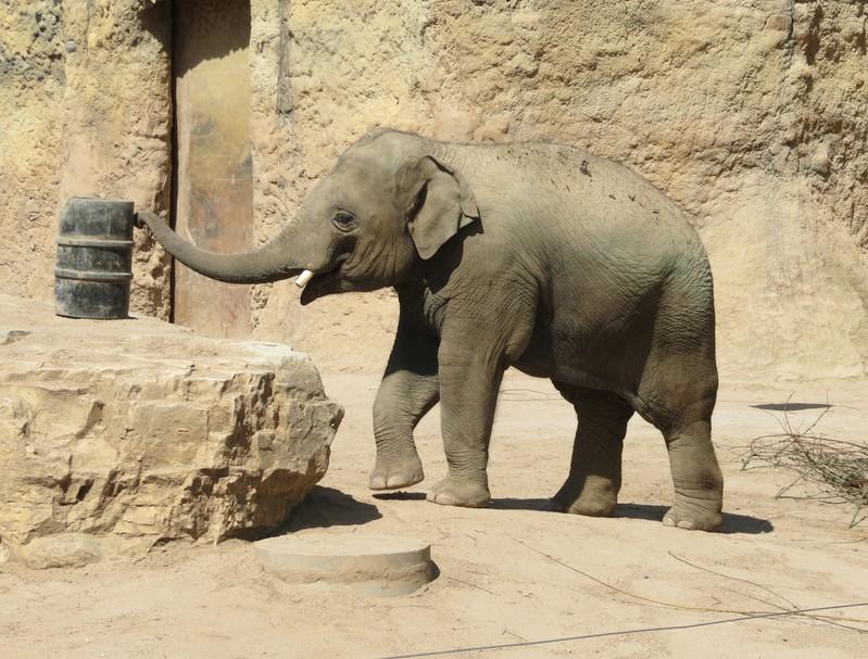 Elefant Ludwig ist gut in seiner neuen Heimat angekommen. , © Foto: Zoo Heidelberg