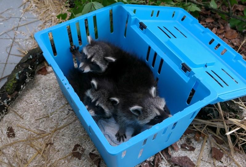 Drei Waschbär-Babys haben ihre Mutter verloren, © Drei Waschbär-Babys haben ihre Mutter verloren Foto: Auffangstation für Reptilien, München e.V