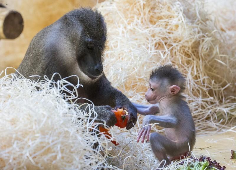 Das kleine Affenbaby wird gefüttert Tierpark Hellabrunn, © Das kleine Drill-Baby mit seiner Mama - Foto: Tierpark Hellabrunn/Marc Müller