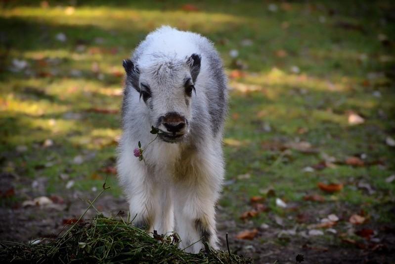 Yak-Kälbchen in Hellabrunn, © Foto: Tierpark Hellabrunn /Susanne Bihler