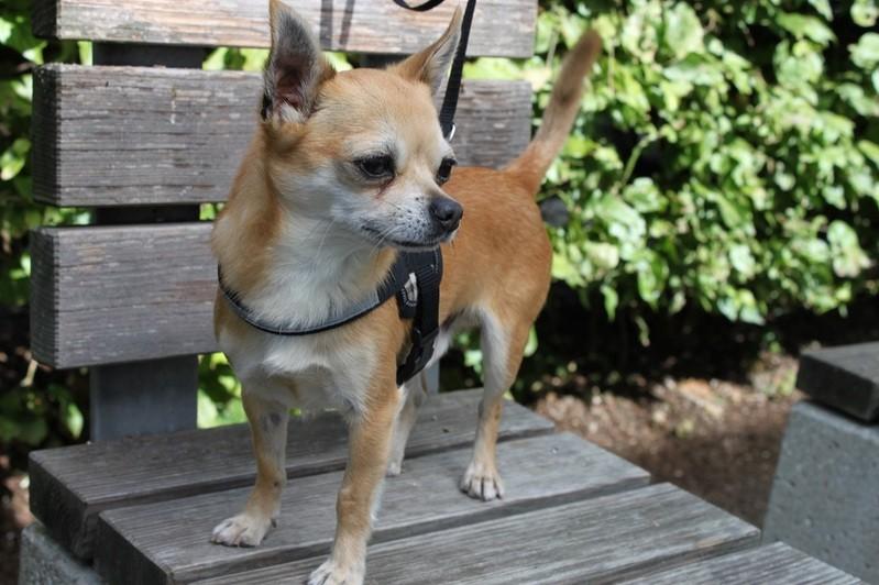 Ein Chihuahua, © Symbolbild