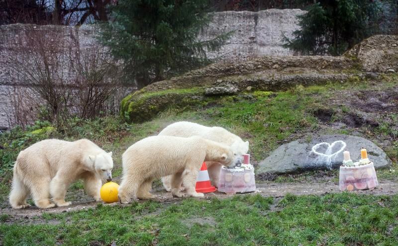 Die Eisbären und ihre Mutter essen Eistorte, © Die Eisbären mit ihrer Mutter - Foto: Tierpark Hellabrunn/Joerg Koch