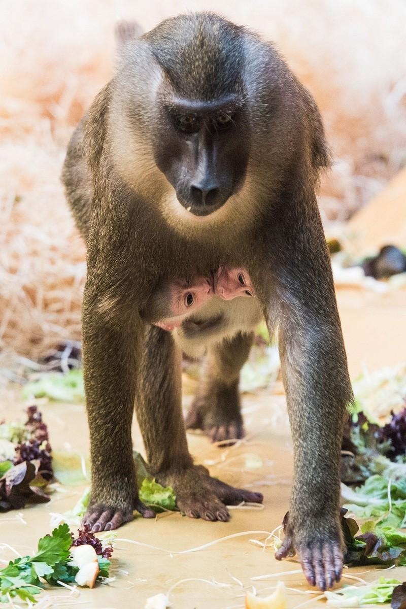 © Die Zwillinge klammern sich schutzsuchend an den Bauch ihrer Mutter Afi,die sich liebevoll um die beiden kümmert. Foto: Sebastian Widmann/Tierpark Hellabrunn