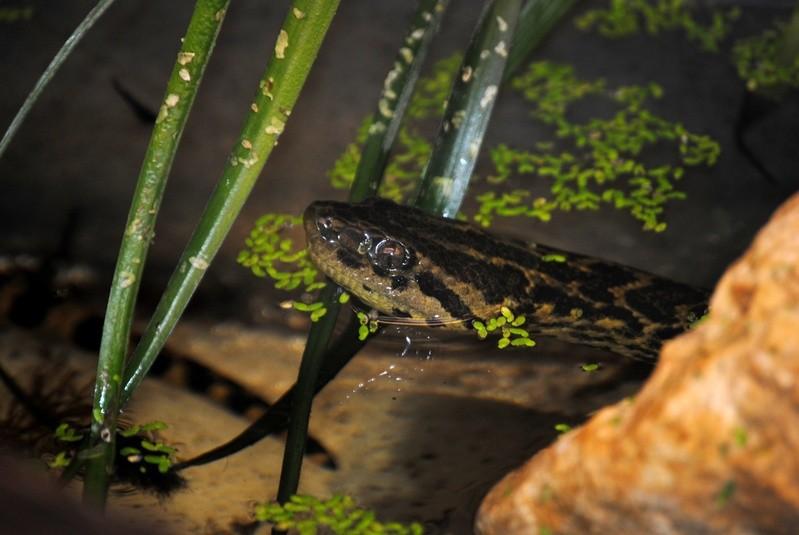 Eine Anakonda (Schlange), © Foto:  Auffangstation für Reptilien, München e.V.