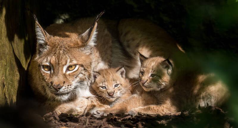 Luchs-mit Babys im Münchner Tierpark Hellabrunn, © Foto: Tierpark Hellabrunn / Daniela Hierl
