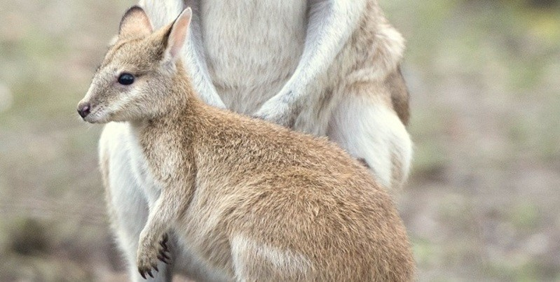 Känguru Baby im Tierpark Hellabrunn, © Foto: TIerpark Hellabrunn