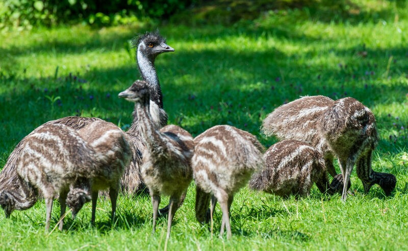 Achtfacher Emu-Nachwuchs mit Emu-Hahn Kanoro im Tierpark Hellabrunn, © Foto: Tierpark Hellabrunn / Marc Müller