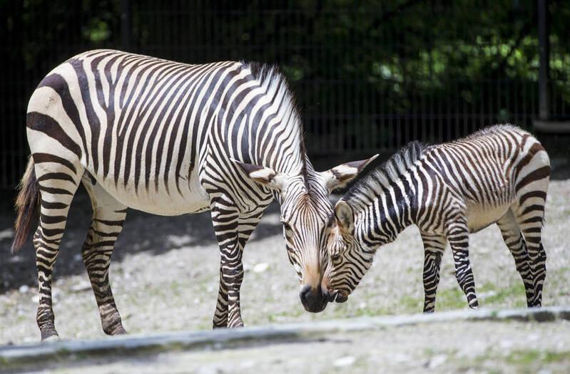 Zebra mit Fohlen im Tierpark Hellabrunn München, © Foto: Tierpark Hellabrunn / Marc Müller